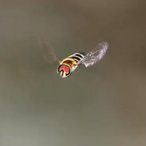 野蜂飞舞 Flight of the Bumble-bee-钢琴谱