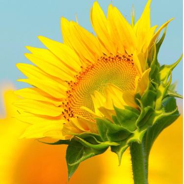 sunflower GTP谱