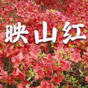映山红 简易版  经典流行-钢琴谱